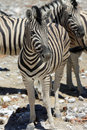 Mountain zebra equus at etosha national park namibia Royalty Free Stock Photography