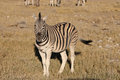 Mountain zebra equus at etosha national park namibia Royalty Free Stock Images