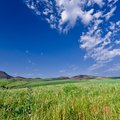 Mountainous green wheat field Stock Images