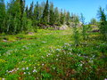 Mountaintop meadow in montana backcountry full bloom Royalty Free Stock Photography