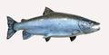 Mounted Atlantic Salmon Royalty Free Stock Photo