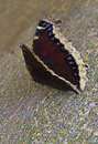 Mourning Cloak Butterfly Royalty Free Stock Image