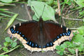 Mourning cloak butterfly perched on the ground Stock Photos