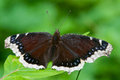 Mourning cloak butterfly perched on a leaf Stock Image