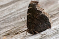 Mourning cloak butterfly perched on an old dead log Stock Photo