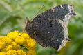 Mourning cloak butterfly perched on a yellow flower Royalty Free Stock Photos
