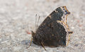 Mourning cloak butterfly resting on a gravel path Royalty Free Stock Image