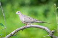 Mourning dove on a branch Royalty Free Stock Image