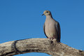 Mourning dove on branch a perched a tree Stock Image