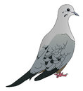 Mourning dove a illustration on white Royalty Free Stock Photography