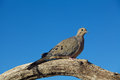 Mourning dove on limb a perched a tree branch Stock Photo