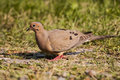 Mourning dove male on the ground Royalty Free Stock Images