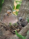 Mourning Dove Mother And Her Babies Royalty Free Stock Photo