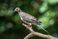 Mourning dove perched on branch Royalty Free Stock Photo