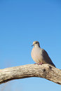 Mourning Dove Perched on Log Stock Photo