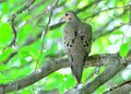 Mourning dove a perched on a tree branch Royalty Free Stock Images