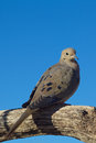 Mourning dove a perched on a tree branch Stock Image