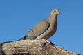 Mourning dove a perched on a tree branch Royalty Free Stock Photography