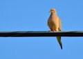 Mourning dove a perched on a wire Stock Photography