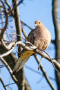 Mourning dove resting budding maple tree winter Stock Images