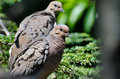Mourning dove with ruffled feathers a perched Royalty Free Stock Photos