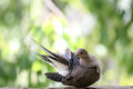 Mourning dove seen wild san diego california Stock Photos