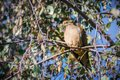 Mourning Dove on a silver birch tree branch Royalty Free Stock Photo