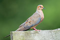 Mourning dove standing on a wooden ledge Royalty Free Stock Images