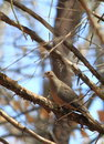 Mourning dove in woods hiding and resting on early spring maryland Royalty Free Stock Photos