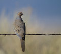 Mourning dove zenaida macroura in alamosa national wildlife refuge in colorado Stock Photography