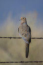 Mourning dove zenaida macroura in alamosa national wildlife refuge in colorado Stock Images
