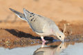 Mourning dove zenaida macroura drinking from a pond texas Royalty Free Stock Photography