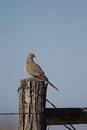 Mourning dove zenaida macroura near alamosa in the san luis valley of southern colorado Stock Photography