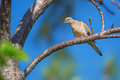 Mourning dove zenaida macroura perched on tree branch in southwest florida Stock Photography