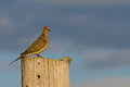 Mourning dove zenaida macroura staring on a summer evening Royalty Free Stock Image