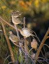 Mourning doves on branches several waiting for sunset Stock Image