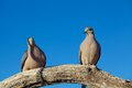 Mourning doves a pair of perched on a tree branch Stock Image