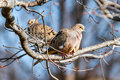 Mourning doves resting midwinter Stock Image