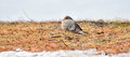 Mourning Doves, Turtle Doves Zenaida macroura on the ground looking at camera. Royalty Free Stock Photo