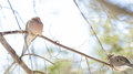 Mourning Doves, Turtle Doves Zenaida macroura on a tree branch. Royalty Free Stock Photo