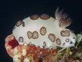 Mourning sea slug Royalty Free Stock Photo