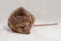 Mouse Royalty Free Stock Photography