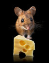 Mouse with cheese domestic piece of isolated on black background Royalty Free Stock Photos