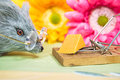 Mouse with cheese in trap gray glasses and mousetrap colorful daisy background Stock Photo
