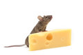 Mouse with cheese on white a slice of swiss Royalty Free Stock Photo