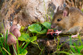Mouse eating raspberry Royalty Free Stock Photos