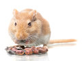Mouse eats seeds the sits and sunflower isolated on a white background Royalty Free Stock Photography