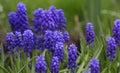 Mouse-grey hyacinth Royalty Free Stock Photo