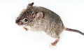 Mouse little over a grey background Royalty Free Stock Photos