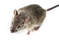 Mouse little over a grey background Royalty Free Stock Image